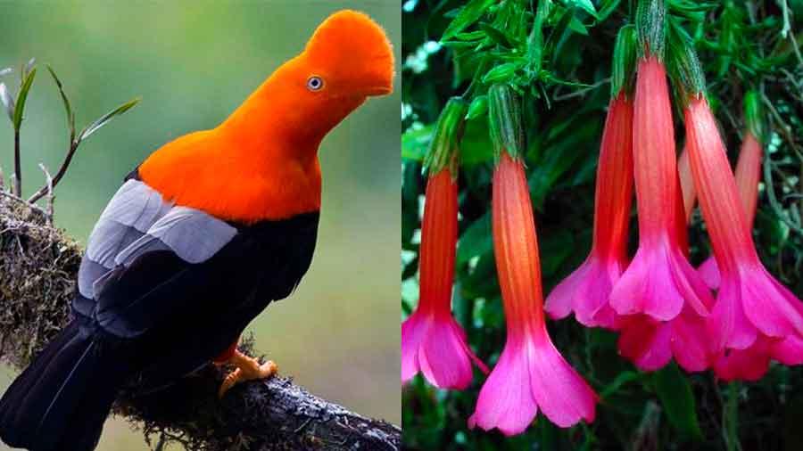 El ave y la flor nacional del Perú