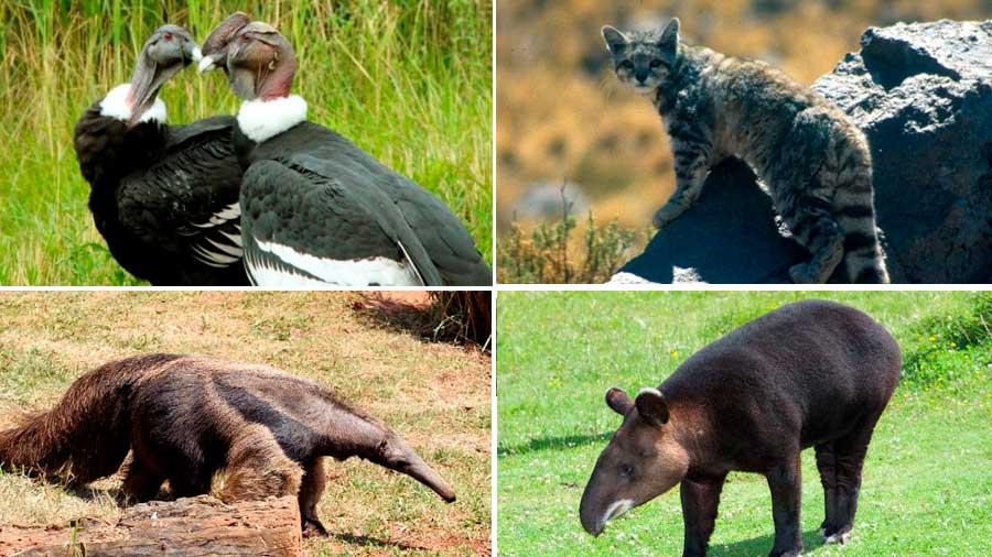 Qué animales están en peligro de extinción en Perú